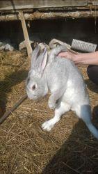 Кролик ,  в убойном и живом виде