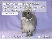 Декоративные кролики мини рекс и мини цветной карлик